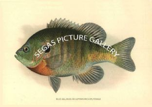 Blue-Gill or Blue-Joe